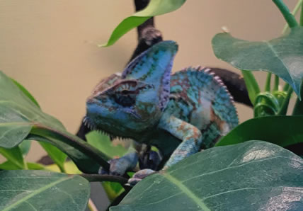 Chameleon | Wards Corner Animal Hospital | Loveland, Ohio