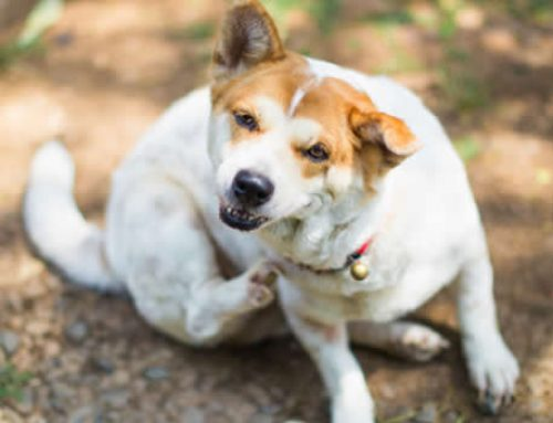 4 Common Signs That Your Pet Has Fleas