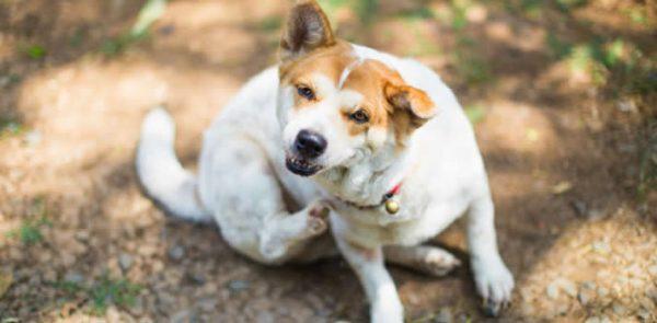 4 Common Signs That Your Pet Has Fleas   Wards Corner Animal Hospital   Loveland, Ohio